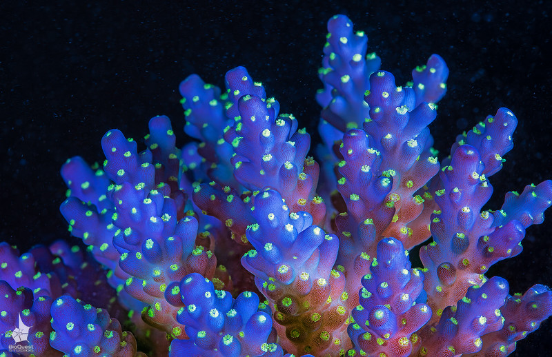 Acropora sp coral small branch of a young colony, around 8 cm in size. The image is a deep focus stack (50+ images)