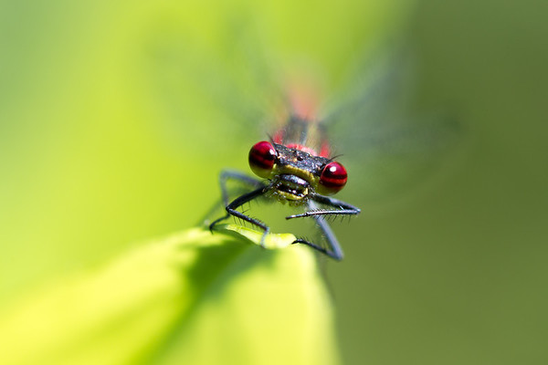 Red Damsel