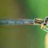 Dragonfly,  Lake Renwick Preserve, Plainfield, Illinois