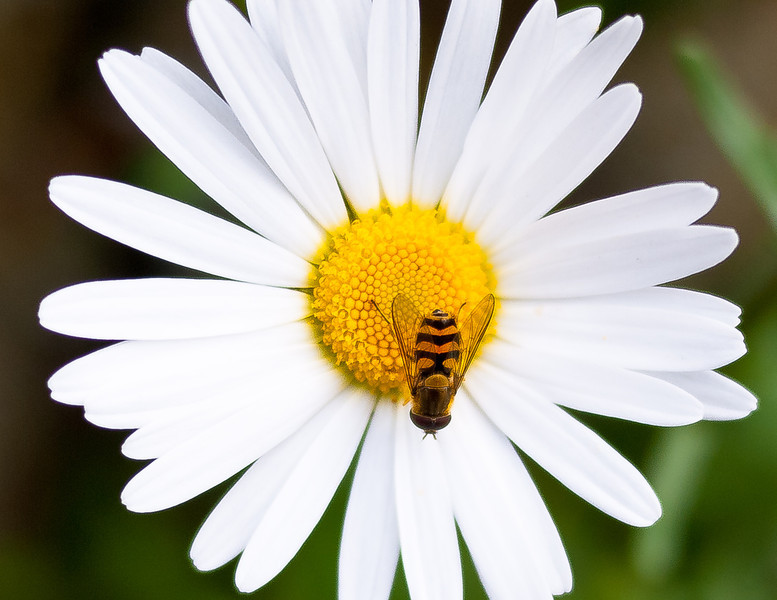 White Flower With Bee, Ketchikan, Alaska