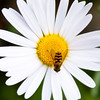 White Flower With Bee, Ketchikan, Alaska