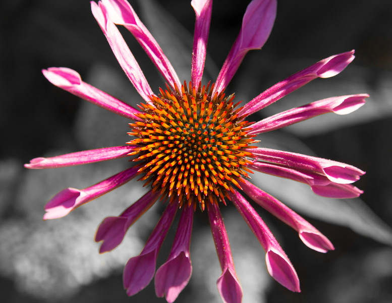 Thanks to my friend Patrick for telling me what kind of flower this is. It is called echinacea. The common name is purple coneflower.