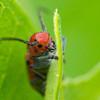 Orange bug, Romeoville, Illinois