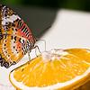 Butterfly Getting Drunk, Aruba, Butterfly Farm