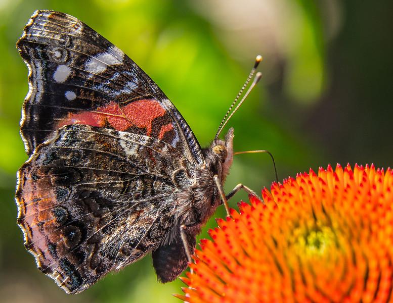 Butterfly Resting, Naper Settlement, Naperville, Illinois