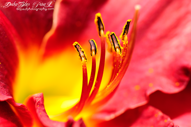 """Fire of Passion"" - DayLily @ Gibbs Garden - Ballground , Atlanta, Georgia - USA"