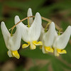 """Dutchman's Breeches"""