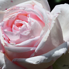 Dazzling Pink Rose @ Rosengarten - Bern , Switzerland