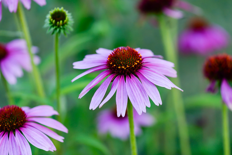 Purple coneflower 03