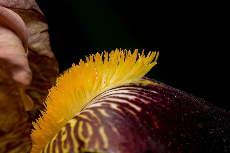 """""""Yellow Bearded Iris"""""""
