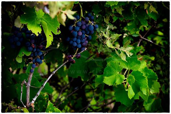 les vignes sauvages | wild vines