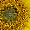"""Sunflower Symmetry"""