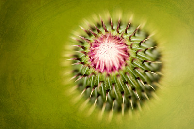 Birth of a Thistle