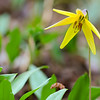 Trout Lily 01