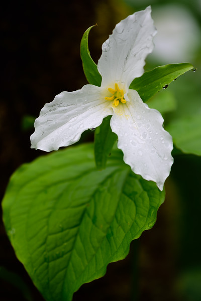 Trillium in the rain 01