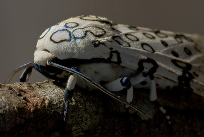 Lepard Moth showing irridescence of different body parts