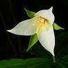 """""""White Trillium"""""""