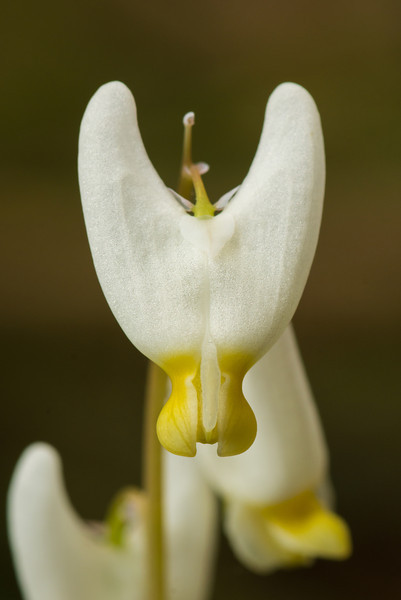 """Dutchman's Breeches Macro"""