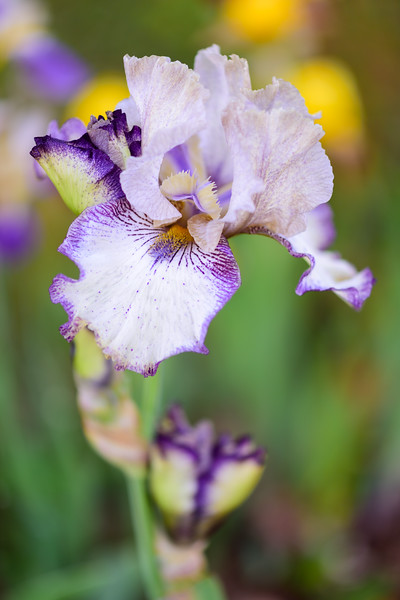 Renewal bearded iris 01