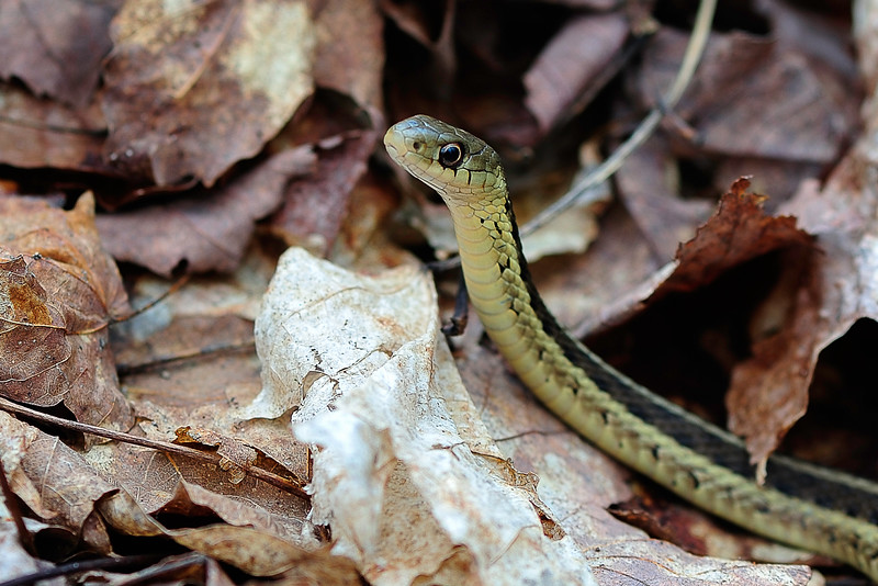 Garter snake on the move