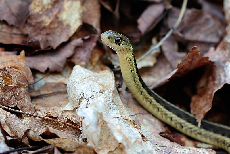 Garter snake on the move