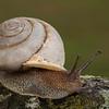 """""""Garden Snail"""""""