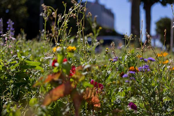 fleurs sauvages en ville | wild flowers in the city