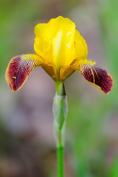 Red and yellow bearded Iris 01