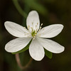 """Sharp-lobed Hepatica"""