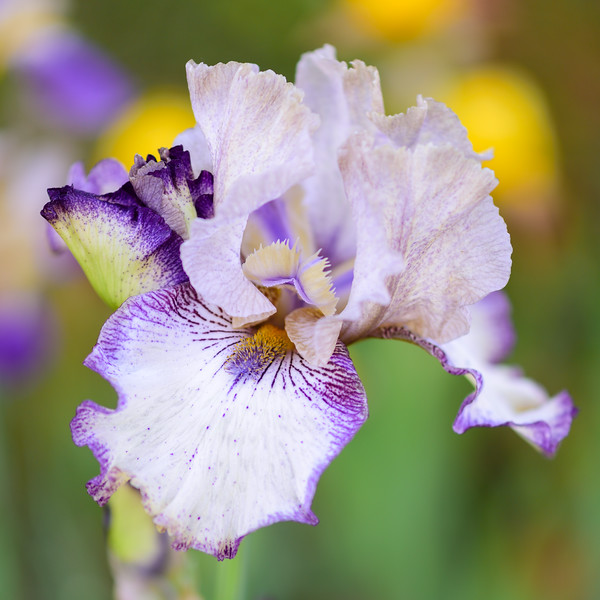 Renewal bearded iris 02