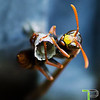 Wasp with Nest and Eggs