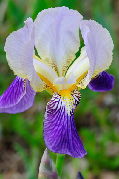 Purple and white bearded Iris 01