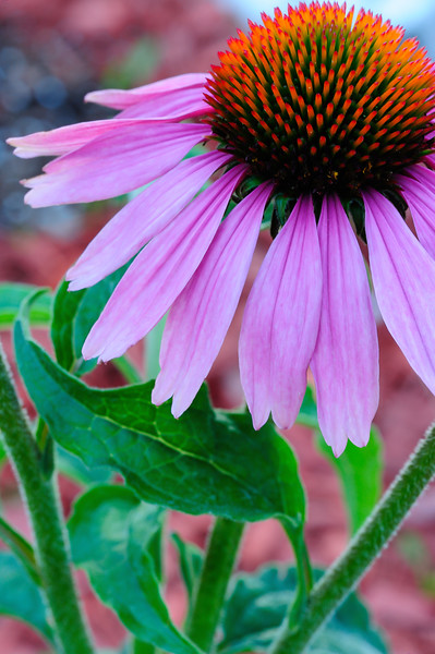 Purple coneflower 01