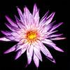 Water Lily<br /> Fairchild Tropical Botanic Garden