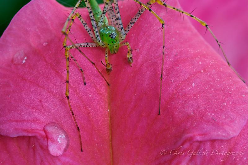 Green Lynx Spider On Petunia