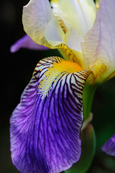 Purple and White bearded iris 02
