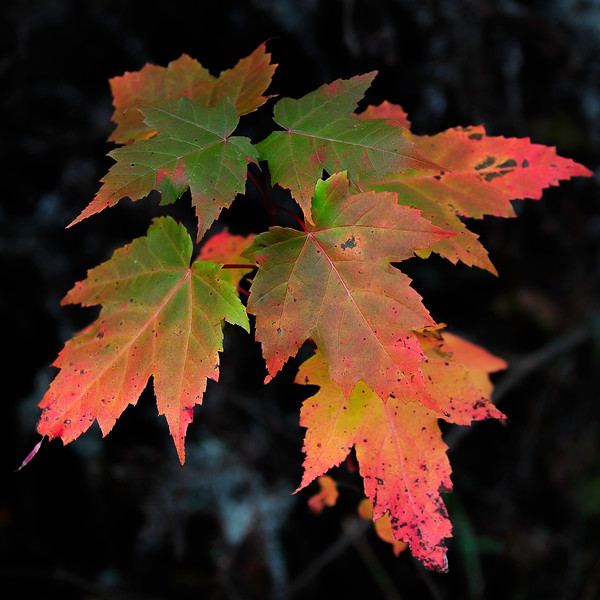 Turning maple leaves