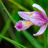 Rose Pogonia orchid 01