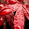Red Leaf Water Droplets, Macro