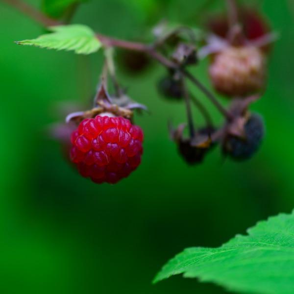 Ripe Raspberry 01