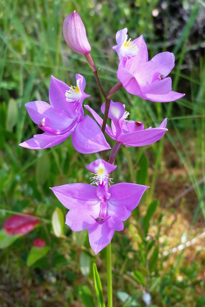 Grass Pink orchid 01