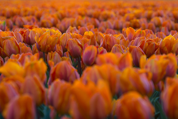 Nothing but tulips