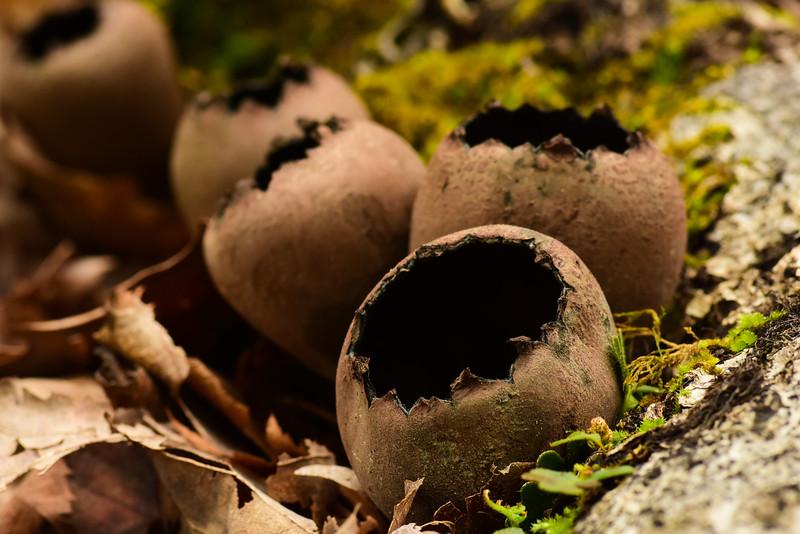 Devil's Urn Mushrooms