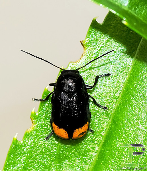 Cryptocephalus Species