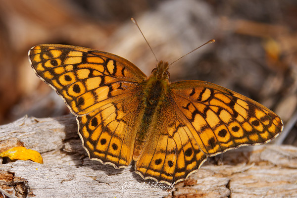 Small Pearl-Bordered Fritillary Butterfly in Heber