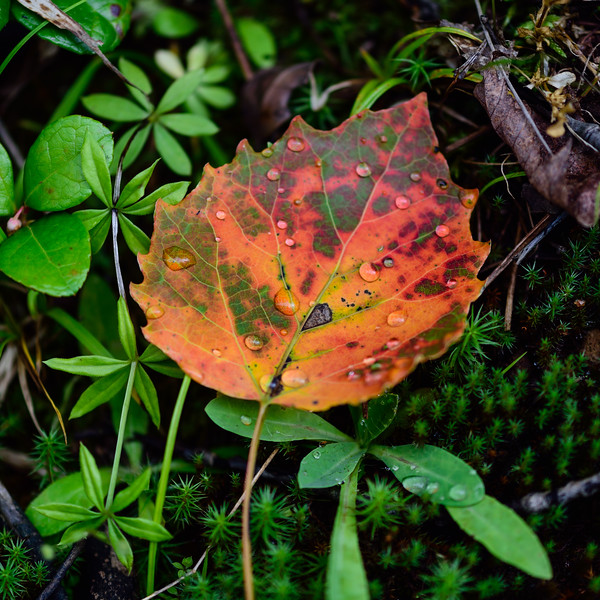 Colorful Bigtooth aspen leaf 01