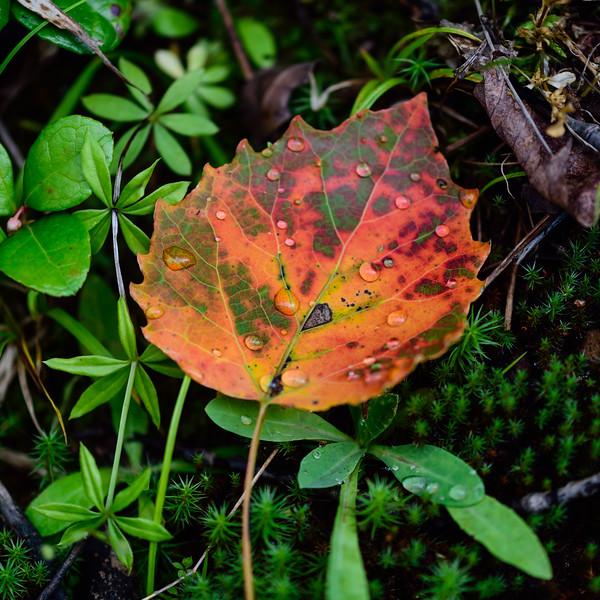 Colorful Bigtooth aspen leaf 01