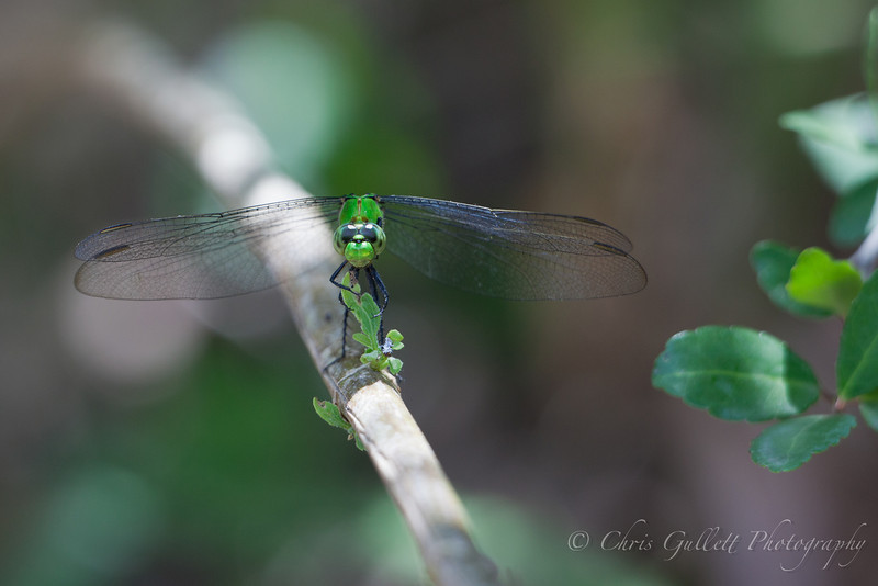 Dragonfly Takes A Bow