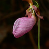 """Pink Lady's Slipper"""