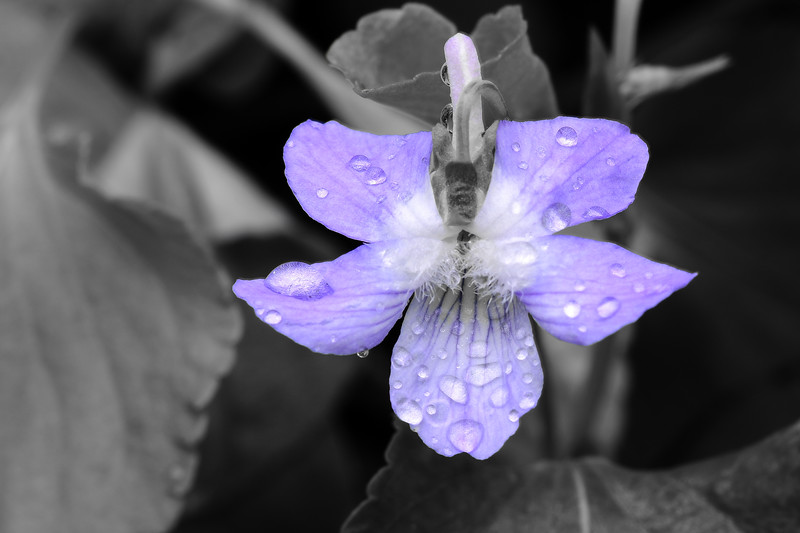 Violet after the rain 01